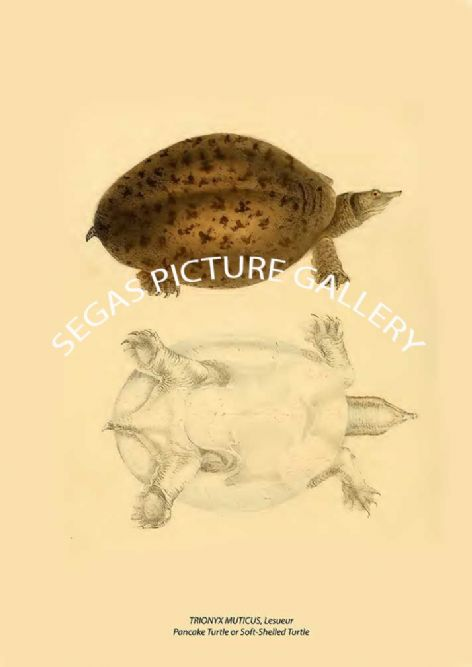 Fine art print of the TRIONYX MUTICUS, Lesueur Pancake Turtle or Soft-Shelled Turtle by John Edwards Holbrook (1842)